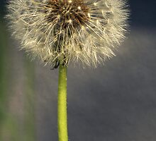 Seeded Dandelion by kmlsphotos