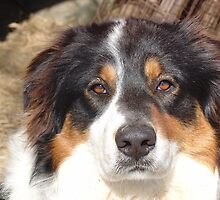 Australian shepherd by Susy Rushing