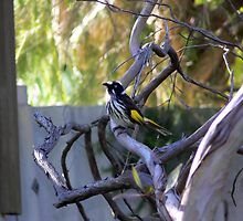 Irate Honey Eater by Sandra Chung