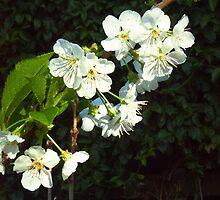 Cherry blossom  by Helen  Dawson