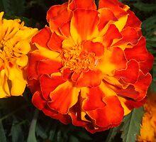 Fall Marigolds by Mardav7777