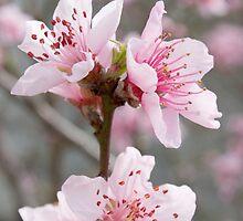 Plum blossoms by joggi2002