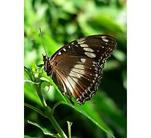 Oleander Butterfly Photographic Print