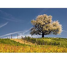 Blossoming cherry tree in spring  Photographic Print