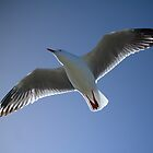 Seagull soaring by Cooper