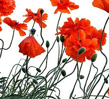 Poppies by CSRoth