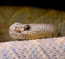 Aruba Island Rattlesnake (Crotalus unicolor) by Daniel Attema