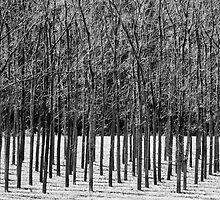 Trees 'n Shadows by ozczecho