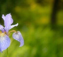 Iris by Classicperfection
