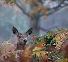 A shy Red Deer by Judi Lion