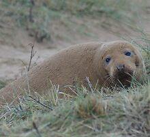 Sandy grey seal by WizardPhotos