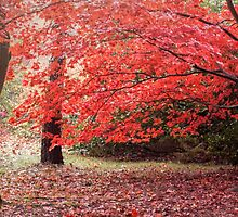 A red Acer in autumn by Judi Lion