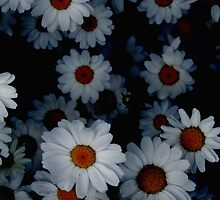 Deeply Daisies by Crokus Label