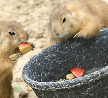 Marmots Competing over Food by christopherliao
