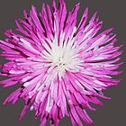 Spring Flower in pink and white by Schoolhouse62