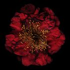 Deep red flower by hagnes