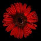Red Gerbra by hagnes