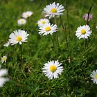 Daisys by David Elliott