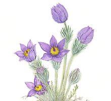 Pasque Flower - Pulsatilla grandis by Sue Abonyi