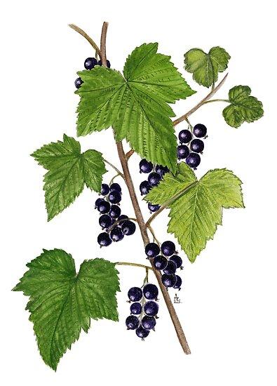 Blackcurrant - Ribes nigrum by Sue Abonyi