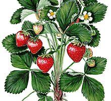 Garden Strawberry - Fragaria ananassa by Sue Abonyi