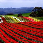 photoj-Tasmani, Table Cape Tulip Farm by photoj