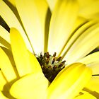 Yellow daisy by shalisa