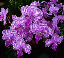 Orchids by Hans Kawitzki
