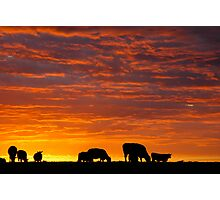 Glorious Grazing Photographic Print