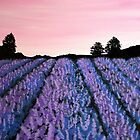 Lavender Fields by starchelle
