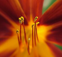 Tiger Lily by Luis Correia