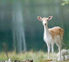 Fallow Deer by Alain Turgeon