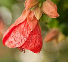 Red Abutilon hybridum, flower photography by SammyPhoto