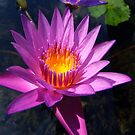 Lotus Blooms by Dave Lloyd