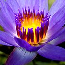 Purple Lotus by Dave Lloyd