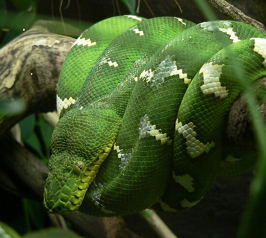 Emerald Tree Boa by Margot Kiesskalt