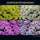 Chrysanthemums by Andy Harris