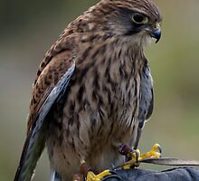 Kestrel by Alan Rodmell