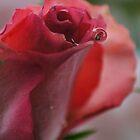 single rose by Joyce Knorz