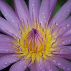 Pink Water Lily by BengLim