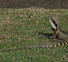 A local, at the motel, Nambucca Heads by Ozcloggie