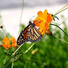 Butterfly by quin10