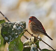 Finch Perching by Sandy Keeton