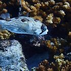 Little Box Fish La Paz by Randy Sprout