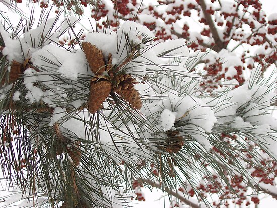 Pine in snow by Victoria Jostes