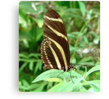 Zebra Longwing Butterfly - Closed Wings Canvas Print