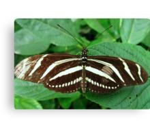 Zebra Longwing Butterfly - Open Wings Canvas Print