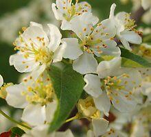 White Crabapple Blossoms by Victoria Jostes