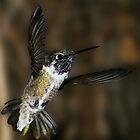 Humming Bird by BarbaraWilliams