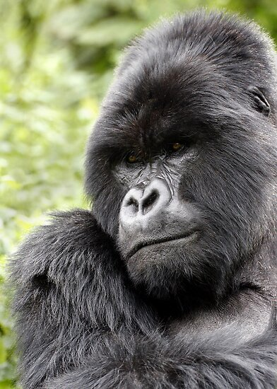 Silverback by Steve Bulford